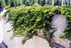 Prince of Wales Juniper (Juniperus horizontalis 'Prince of Wales') at Arrowhead Nurseries Ltd.