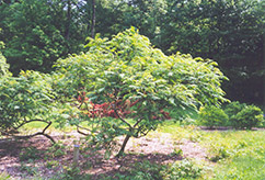 Cutleaf Smooth Sumac (Rhus glabra 'Laciniata') at Arrowhead Nurseries Ltd.