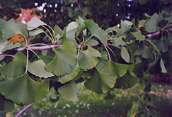 Ginkgo (Ginkgo biloba) at Arrowhead Nurseries Ltd.
