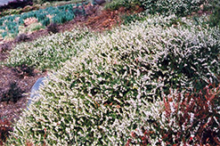 Springwood White Heath (Erica carnea 'Springwood White') at Arrowhead Nurseries Ltd.