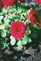 Cuthbert Grant Rose (Rosa 'Cuthbert Grant') at Arrowhead Nurseries Ltd.