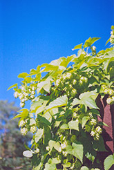 Hops (Humulus lupulus) at Arrowhead Nurseries Ltd.