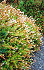 Scotch Heather (Calluna vulgaris) at Arrowhead Nurseries Ltd.