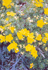Goldfinger Potentilla (Potentilla fruticosa 'Goldfinger') at Arrowhead Nurseries Ltd.