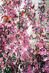 Shaughnessy Cohen Flowering Crab (Malus 'Shaughnessy Cohen') at Arrowhead Nurseries Ltd.