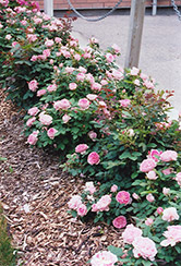 Prairie Joy Rose (Rosa 'Prairie Joy') at Arrowhead Nurseries Ltd.