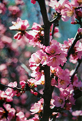 Flowering Plum (Prunus triloba) at Arrowhead Nurseries Ltd.