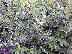 Berry Blue Honeyberry (Lonicera caerulea 'Berry Blue') at Arrowhead Nurseries Ltd.