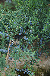 Grey Owl Redcedar (Juniperus virginiana 'Grey Owl') at Arrowhead Nurseries Ltd.