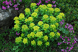 Cushion Spurge (Euphorbia polychroma) at Arrowhead Nurseries Ltd.