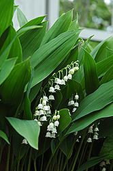 Lily-Of-The-Valley (Convallaria majalis) at Arrowhead Nurseries Ltd.