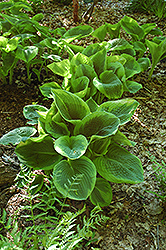 Frances Williams Hosta (Hosta 'Frances Williams') at Arrowhead Nurseries Ltd.