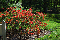 Mandarin Lights Azalea (Rhododendron 'Mandarin Lights') at Arrowhead Nurseries Ltd.