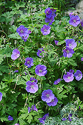 Johnson's Blue Cranesbill (Geranium 'Johnson's Blue') at Arrowhead Nurseries Ltd.