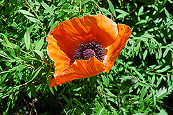 Oriental Poppy (Papaver orientale) at Arrowhead Nurseries Ltd.