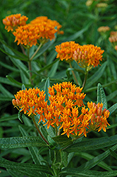 Butterfly Weed (Asclepias tuberosa) at Arrowhead Nurseries Ltd.