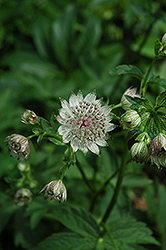 Great Masterwort (Astrantia major) at Arrowhead Nurseries Ltd.