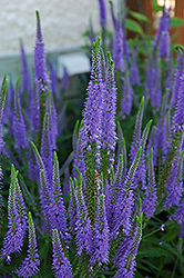 Sunny Border Blue Speedwell (Veronica 'Sunny Border Blue') at Arrowhead Nurseries Ltd.