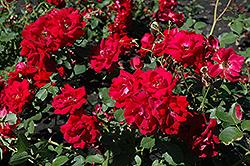 Champlain Rose (Rosa 'Champlain') at Arrowhead Nurseries Ltd.