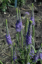 Blue Candles Speedwell (Veronica spicata 'Blue Candles') at Arrowhead Nurseries Ltd.