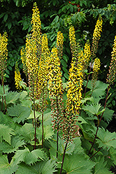 The Rocket Rayflower (Ligularia 'The Rocket') at Arrowhead Nurseries Ltd.