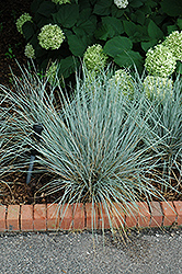 Sapphire Fountain Oat Grass (Helictotrichon sempervirens 'Sapphire Fountain') at Arrowhead Nurseries Ltd.