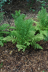 Lady Fern (Athyrium filix-femina) at Arrowhead Nurseries Ltd.