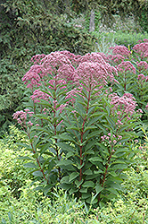 Joe Pye Weed (Eupatorium maculatum) at Arrowhead Nurseries Ltd.