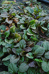 Bronze Beauty Bugleweed (Ajuga reptans 'Bronze Beauty') at Arrowhead Nurseries Ltd.
