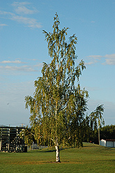Cutleaf Weeping Birch (Betula pendula 'Dalecarlica') at Arrowhead Nurseries Ltd.