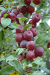 Kerr Apple-Crab (Malus 'Kerr') at Arrowhead Nurseries Ltd.