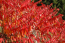 Smooth Sumac (Rhus glabra) at Arrowhead Nurseries Ltd.