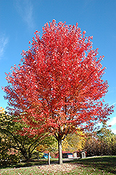 Autumn Blaze Maple (Acer x freemanii 'Jeffersred') at Arrowhead Nurseries Ltd.