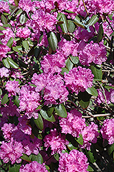 P.J.M. Rhododendron (Rhododendron 'P.J.M.') at Arrowhead Nurseries Ltd.