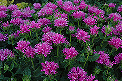 Petite Delight Beebalm (Monarda 'Petite Delight') at Arrowhead Nurseries Ltd.