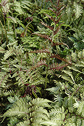 Japanese Painted Fern (Athyrium nipponicum 'Metallicum') at Arrowhead Nurseries Ltd.