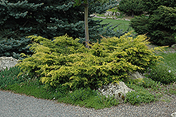 Old Gold Juniper (Juniperus x media 'Old Gold') at Arrowhead Nurseries Ltd.