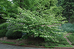 Pagoda Dogwood (Cornus alternifolia) at Arrowhead Nurseries Ltd.