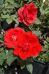 Morden Fireglow Rose (Rosa 'Morden Fireglow') at Arrowhead Nurseries Ltd.