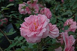 John Davis Rose (Rosa 'John Davis') at Arrowhead Nurseries Ltd.
