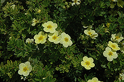 Katherine Dykes Potentilla (Potentilla fruticosa 'Katherine Dykes') at Arrowhead Nurseries Ltd.