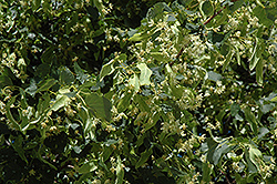 Greenspire Linden (Tilia cordata 'Greenspire') at Arrowhead Nurseries Ltd.