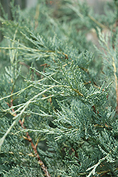 Moonglow Juniper (Juniperus scopulorum 'Moonglow') at Arrowhead Nurseries Ltd.