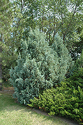 Wichita Blue Juniper (Juniperus scopulorum 'Wichita Blue') at Arrowhead Nurseries Ltd.