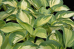 June Hosta (Hosta 'June') at Arrowhead Nurseries Ltd.