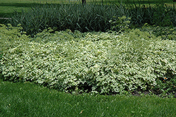 Variegated Bishop's Goutweed (Aegopodium podagraria 'Variegata') at Arrowhead Nurseries Ltd.