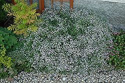 Common Baby's Breath (Gypsophila paniculata) at Arrowhead Nurseries Ltd.