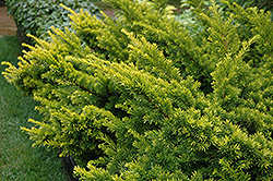 Golden Japanese Yew (Taxus cuspidata 'Aurescens') at Arrowhead Nurseries Ltd.