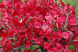 Compact Winged Burning Bush (Euonymus alatus 'Compactus') at Arrowhead Nurseries Ltd.