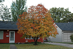 American Mountain Ash (Sorbus americana) at Arrowhead Nurseries Ltd.